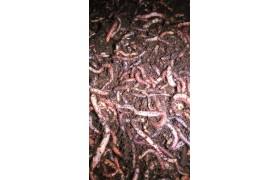 Viswormen Middel